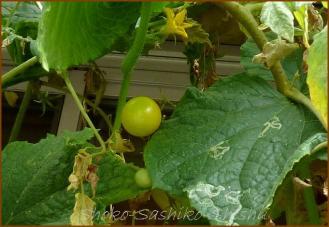 20130826 トマト  夏の実
