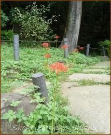 20130925 新江戸川公園 1 彼岸花