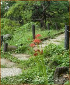 20130925 新江戸川公園 2 彼岸花