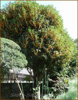 20131013 公園 2 金木犀