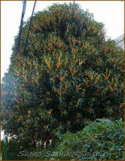 20131013 大きな木 金木犀