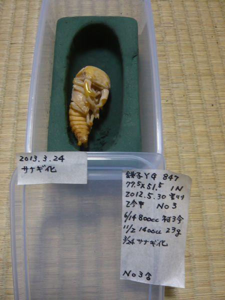銚子血統 能勢YG♂蛹