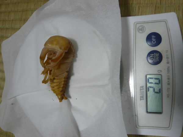 能勢YG♂蛹20g