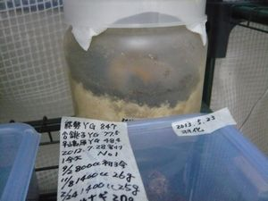 久留米M♂蛹 22.5g2