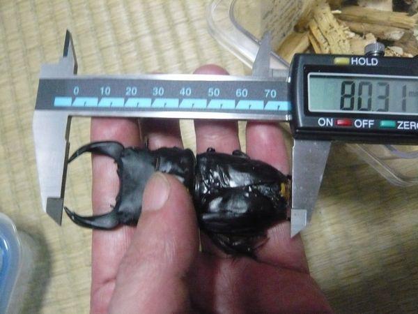 S.sel.SE♂80.3mm