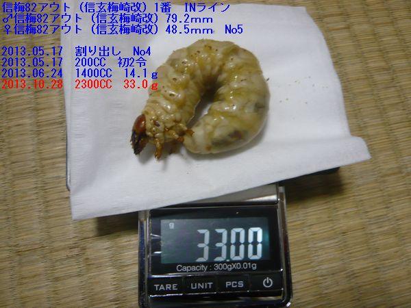♂信梅82IN幼虫 33g