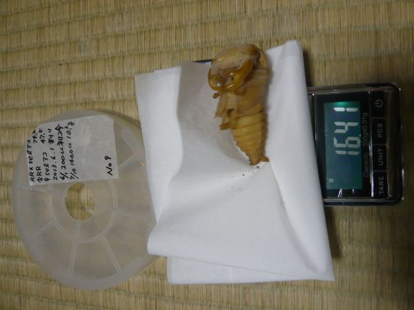 ♂蛹 16.4g