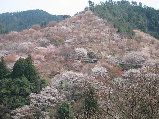 吉野の桜 019
