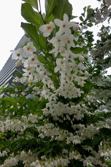 Japanese snowbell(鈴なりの花)