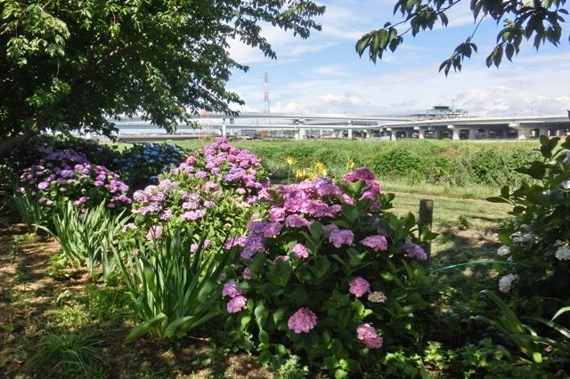 小出川紫陽花まつり