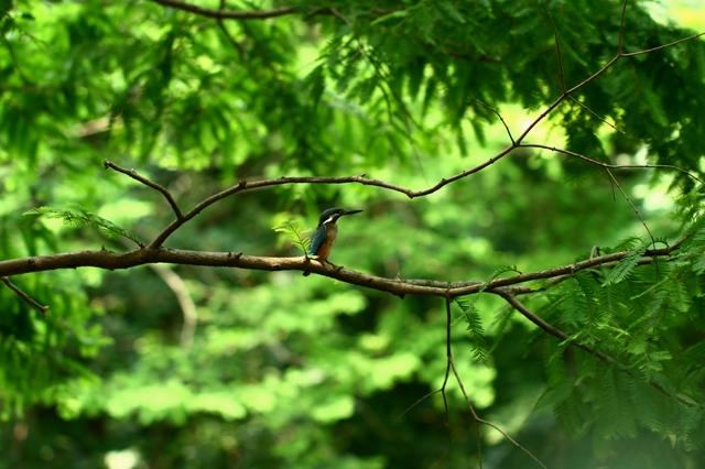 ネミノキの木陰で休むカワセミ