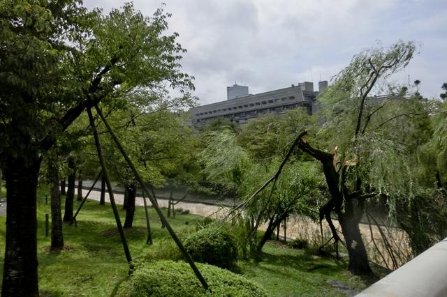 暴風雨でポキッと折れた柳の木(京都国際会議場)