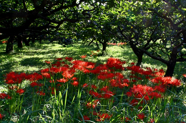 柿畑の彼岸花