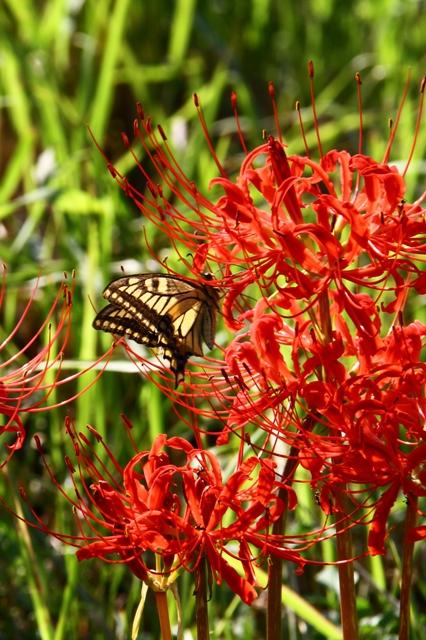 蜜を吸うアゲハ蝶