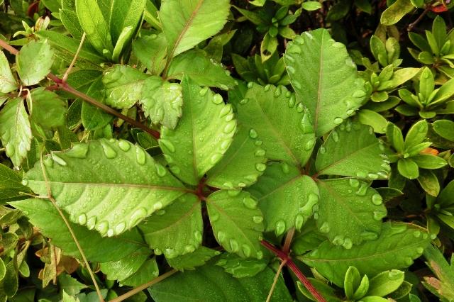 ヤブガラシの葉っぱについた水滴