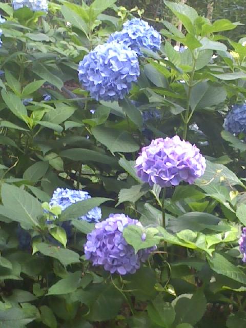 紫陽花    2