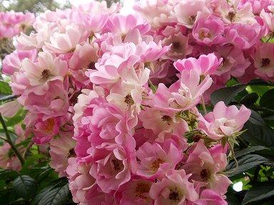 パリ郊外ルバロワのプランシェット公園に咲くピンクの花downsize