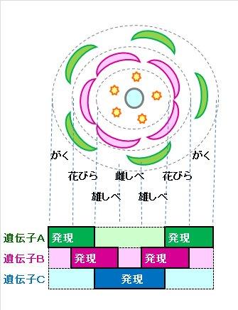 ABCモデル模式図その2