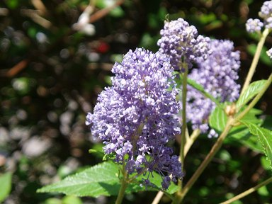 ペレール大通り公園風に揺れる紫花downsize