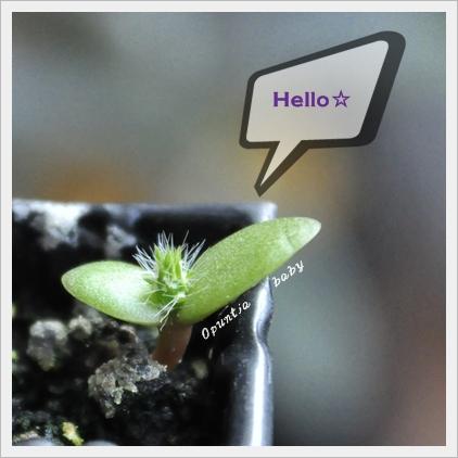 サボテン発芽