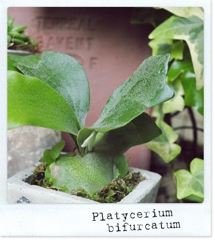 Platycerium bifurcatum2