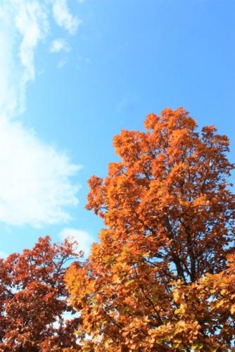 柏の木、芽室公園