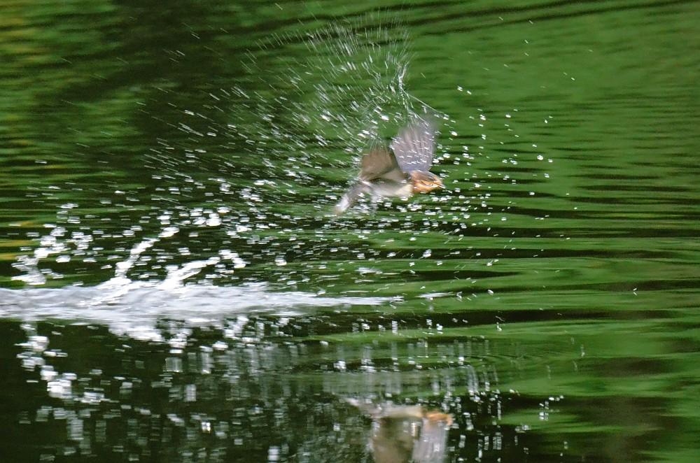 水浴びツバメ
