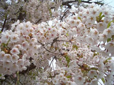 2013-05-19 桜開花