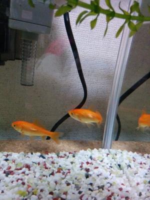 エリート金魚達2