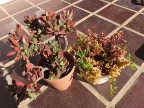 左側:パキベリア ・レズリー(Pachyveria Lesliei)。右側:セネシオ ペレグリヌス(七宝樹x緑の鈴)、クラッスラ・ボルケンシー、クラッスラ・ブロウメアナ~みな寒さに弱いチーム♪霜柱が降りた2日間花台の上でなん