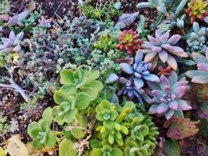 地植えのプレクトランサス・アロマティカス~葉が黒く軽霜に少し痛み始めています。奥のブロウメアナは霜にヘタって痛んでしまいました(ToT)2014.12.14