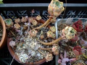 エケベリア 緑牡丹(みどりぼたん)チリチリピーです・・・茎は伸びたまま・・・2013.11.26
