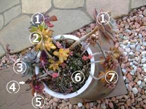 7種がそれぞれ垂れそうです♪色とりどりな多肉寄せ植え~吊鉢♪バイネシー、霜の朝、黄麗、ブロンズ姫などなど~2013.12.12