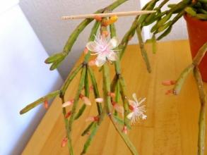 リプサリス・エワルディアナ?(Rhipsalis ewaldiana)原産地:ブラジル~室内でぼちぼち開花中♪2014.12.13