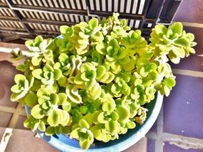 屋外ですが、軒下の鉢植えプレクトランサス・アロマティカス~まだ凍らずに持ちこたえています♪一緒植えのアンボイニクスは葉が黒く痛んでいます(ToT)2014.12.14