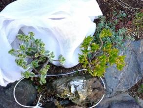 屋外地植えの金の成る木2品~寒さに弱い花月斑入りとゴーラム~不織布を重ねがけして霜除けして朝見てみると元気でした♪2014.12.15