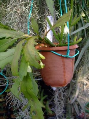 リプサリス 花柳(はなやなぎ)Rhipsalis houlletiana見逃してしまったお花・・・下向いて咲いています・・・( 一一)淡い黄色花♪2013.11.26