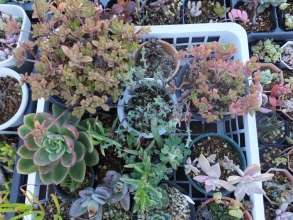 霜が降りた近くの花台上の何も防寒しなかった多肉たち~七宝珠、緑系エケベリア、カランコエ、プレクトランサス・・・凍ってはいないです。2~3日様子を見なくては・・・被害がわからないかも。2014.12.06早朝