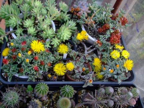 フォーカリアのお花が午後二時頃全開して咲いています♪コショコショして来年の種に期待~♪2013.11.26