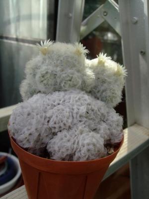 マミラリア 白星(しらぼし)(Mammillaria plumosa)2段階しらぼしになってしまいました(;一_一)それでも無事に開花中♪2013.12.03