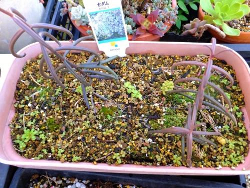 セダム・カウルレア~去年の生き残り3株が今年開花して枯れ果てて後、こぼれ種発芽しています♪2014.12.08