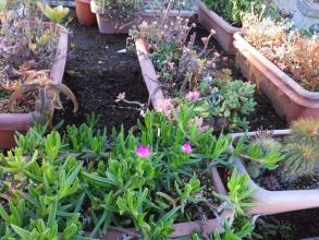 地植え部分の花壇、プランター植えのカルボスローツス、ピンクの花芽を上げながら霜被害なく多肉質の葉も元気です♪2014.12.15