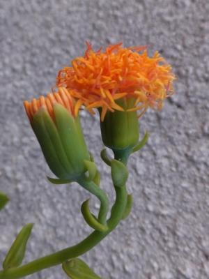 セネシオ バリー(Senecio ballyi)~オレンジ色のアザミの様なお花が咲きました♪2014.11.05