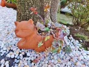 何だかちっともカワイくない多肉ネコ~?でなくて~(ToT)/~~~多肉タヌキ猫~\(~o~)/ユッカの木の下でにて。2014.12.03