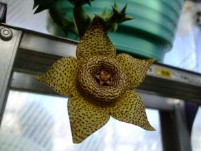 オルベア ナマクエンシス (Orbea namaquensis)=黄金牛角、水やりほとんどしていませんが12月に入っても開花中♪春も秋も冬も咲いています(^-^)2013.12.05