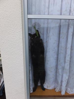 黒と緑の~タコカマ~♪(家の愛猫黒タコちゃんと緑のカマキリちゃん♪ガラス越しにご対面♪)2014.11.05