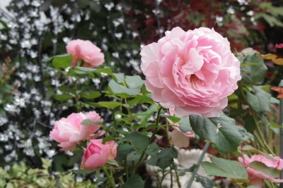 2014-10-12-rose.jpg