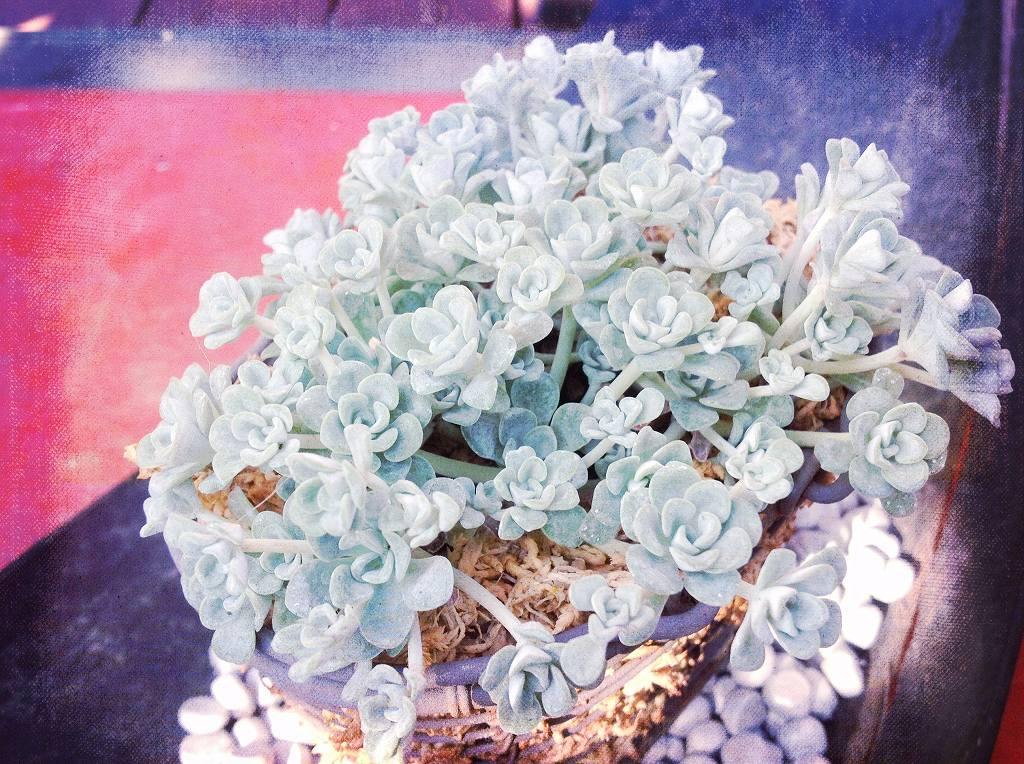 白花ミセバヤ02