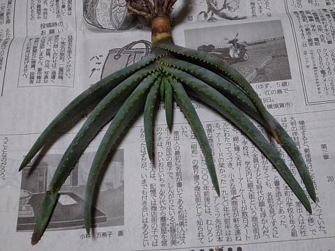 20130420_Aloe argyrostachys