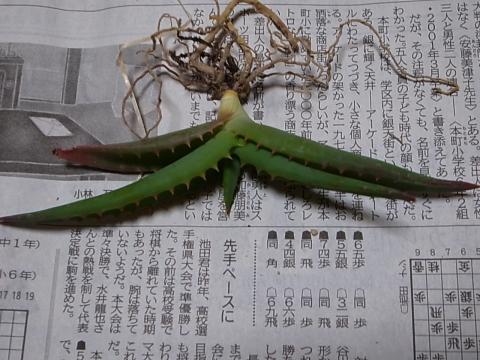 20130420_Aloe alooides